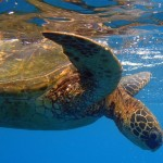 kauai-snorkeling-green-sea-turtle